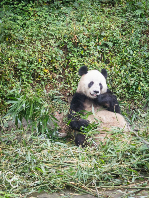 The Best Places to See Pandas in China
