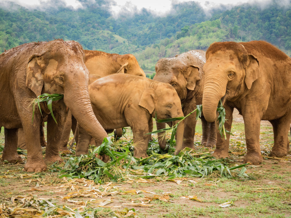 Elephant Nature Park Weekly Volunteer Review: Epic Elephant Encounters in Chiang Mai, Thailand